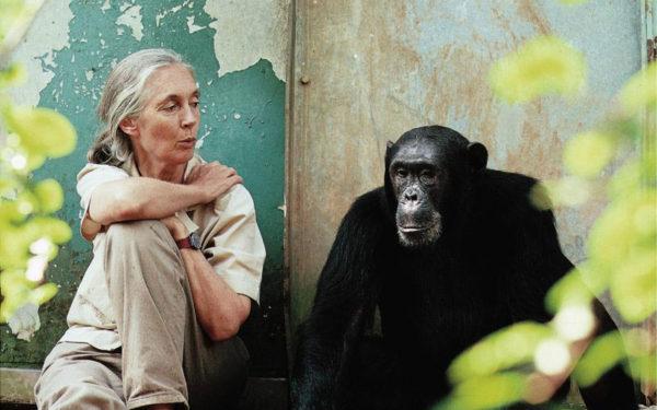 jane goodall YWVA Montreal Chimpanzee